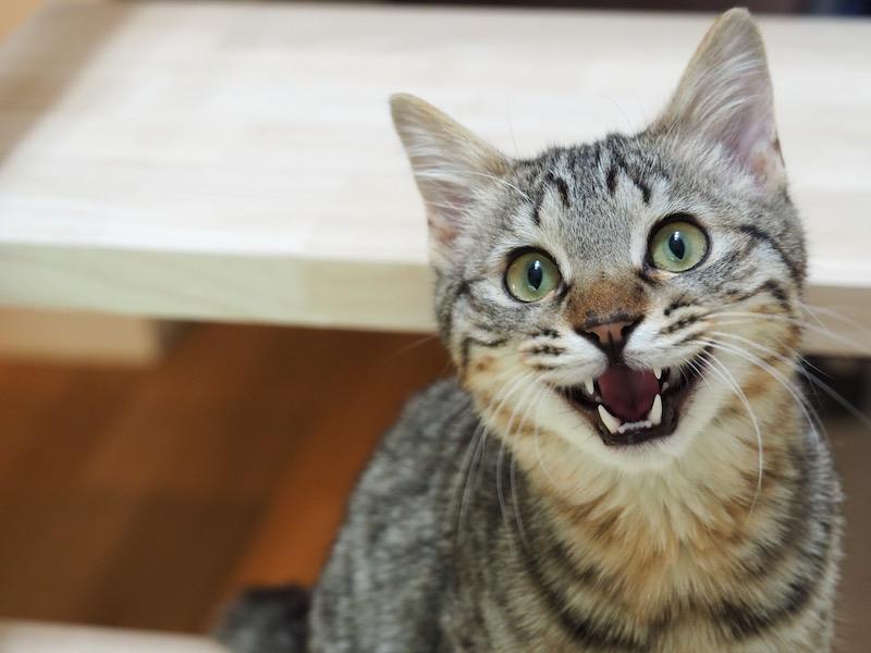 キジトラ保護猫の「ニャン太郎」