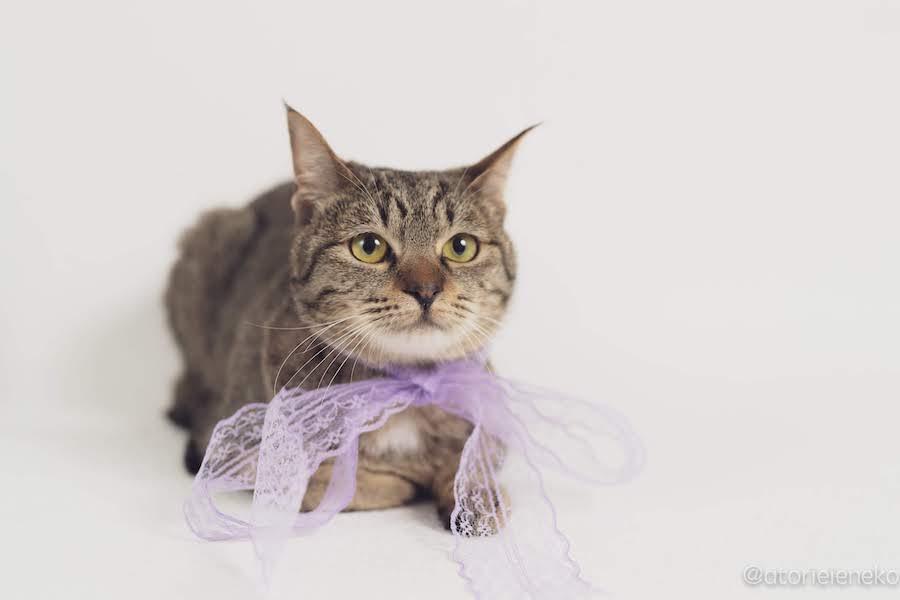 キジトラ保護猫の「チャチャ」