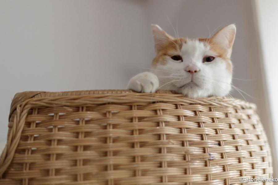 茶白保護猫の「ぼくちゃん」
