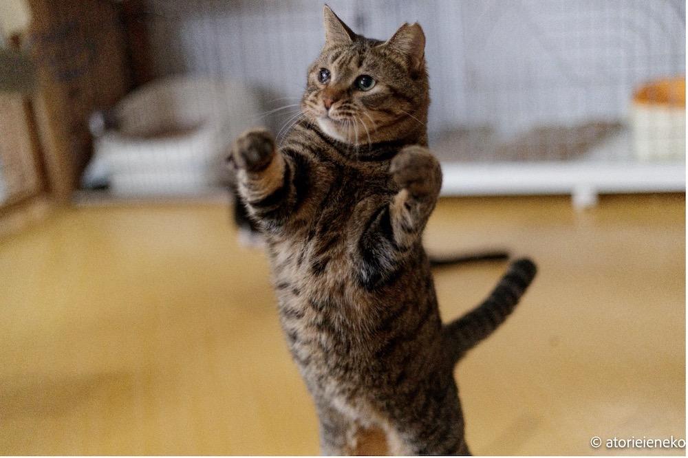 キジトラ保護猫の「みゃーこ」